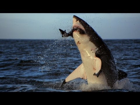 For more, visit http://dsc.discovery.com/tv/shark-week/#mkcpgn=ytdsc1 | Welcome to Sector 4, the primary attack zone off Seal Island, where great white shark...