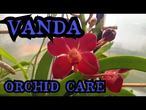 Vanda orchid care info on watering and root health how to care for orchids youtube - Vanda orchid care ...