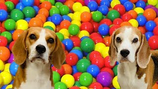 INDOOR BALL PIT POOL SURPRISE : Funny Dog Reactions