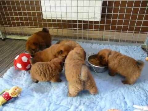 Elevage chow chow LOF Smoothie's. Chiots Chow Chow toutes couleurs ...