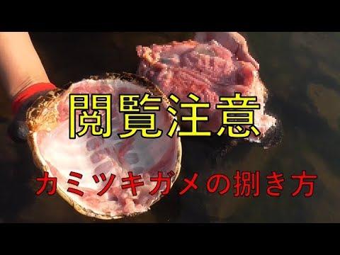カミツキガメの画像 p1_6