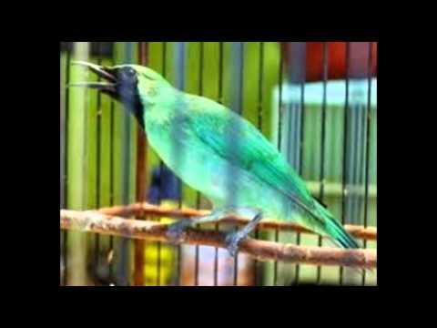 Suara Burung Cucak Ijo Banyuwangi video