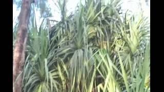 সেন্টমার্টিনে কেয়া ( কেতকী বা কেওড়া ) Sentmartin's Screw Pine