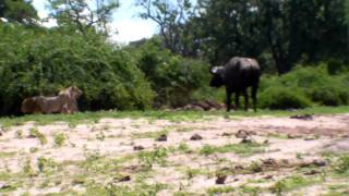 Lion's attack cape buffalo in Chobe 3