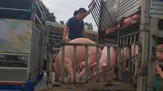Giá lợn hơi hôm nay 21/9/2018 | Giá lợn hơi mới nhất