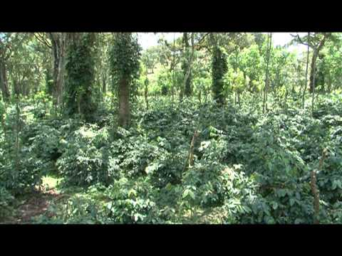 Coffee Leaf Rust Management - Coffee Board of India