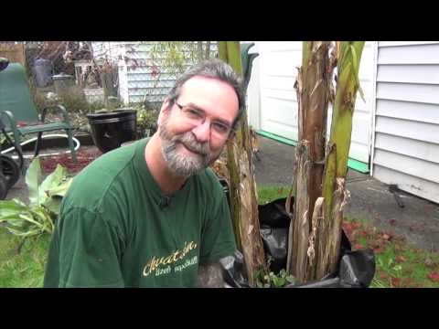 Hydroponic Greenhouse Project, Banana Tree Winterization For Canadian Winters