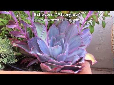 Echeveria Afterglow Care Echeveria 'afterglow'