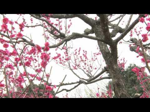 各務原市 「蘇原自然公園」 ~梅の花~
