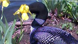 Watch Loon Waiting video
