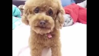 Poodle siêu đáng yêu