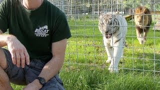 ALARMING: NEVER Turn Your Back on BIG CATS!
