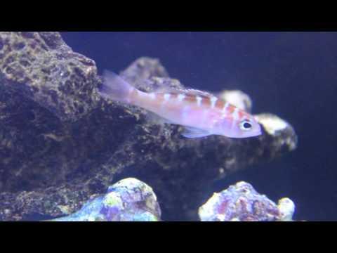 Species Spotlight Season 2 - The Chalk Bass - Episode 19