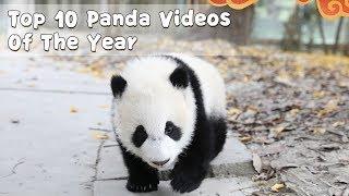 Top 10 Panda Videos Of The Year   iPanda
