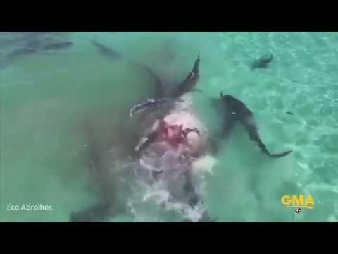 Shark Feeding Frenzy on Dead Humpback Whale [Drone Video]