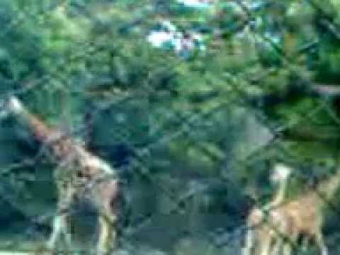 Giraffe--  the tallest living terrestrial animal, Kolkata Zoo Garden