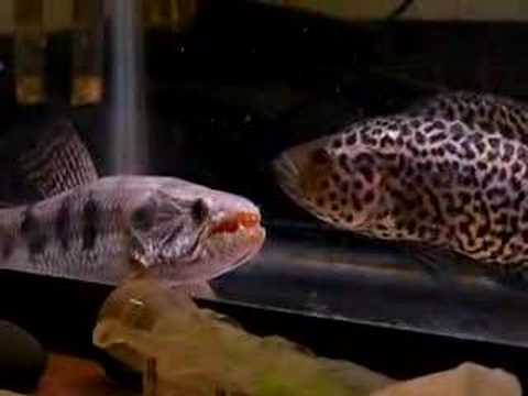 Wolffish vs jaguar cichlid youtube for Freshwater wolf fish
