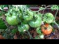 Краснеют крупноплодные томаты  Почему так рано, в  чем секрет