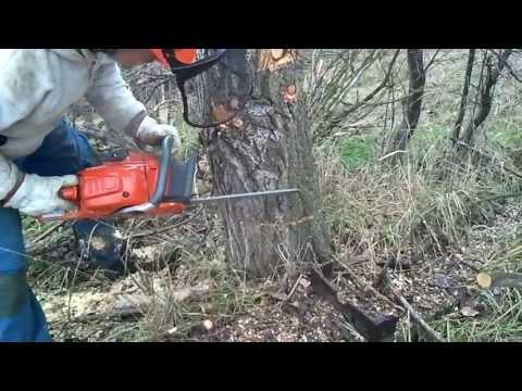 Husqvarna 555 felling. limbing & bucking a poplar tree