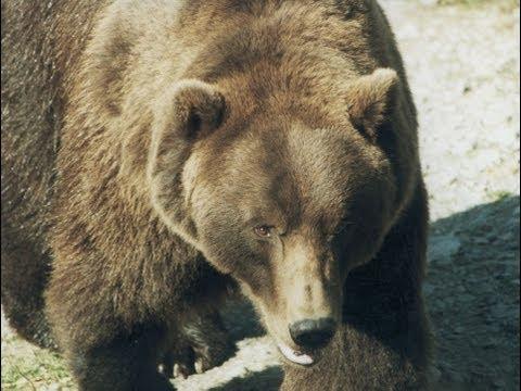 Зейский заповедник. Гилюй и медведи.