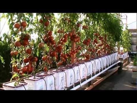 Гидропоника для выращивания помидор 864