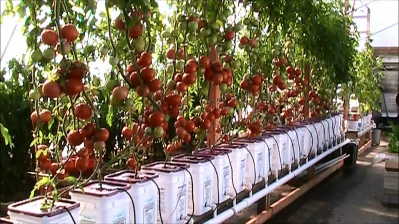 Как сделать раствор для гидропоники томаты