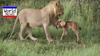Animal saves another animal || Animal heroes  by World News #worldnews #animals #lion #tiger
