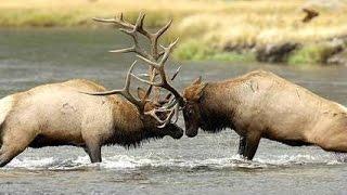 Sự đấu tranh sinh tồn đàn hươu siberia