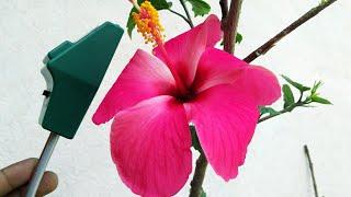 गुलाब, गुड़हल या किसी भी पौधें में फूल नहीं आ रहे तो इसके प्रयोग से फूल आने की पूरी गारंटी