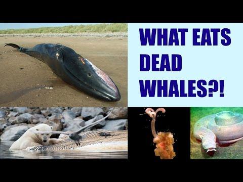 WHAT EATS DEAD WHALES?!