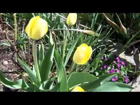 Poezja Śpiewana Żółte Tulipany{ W Mojej Fotografi } -Kis Lech Stawski.mp4
