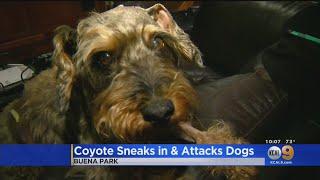 "Coyote Enters Buena Park Home Through ""Doggie Door,"" Kills Dogs"