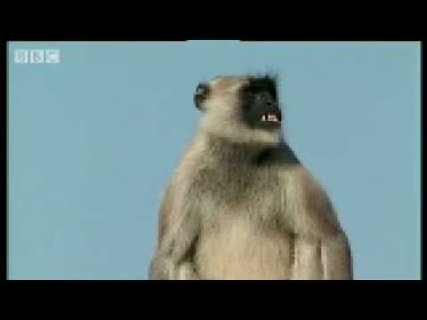 Warlord vs The Outlaws posse - Monkey Warriors - BBC animals Video