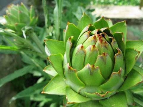 Artichoke Leaf Extract - Reviews, Facts & Warnings