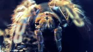 Apocalyptic Arachnophobia Spiders Size Of A Puppy
