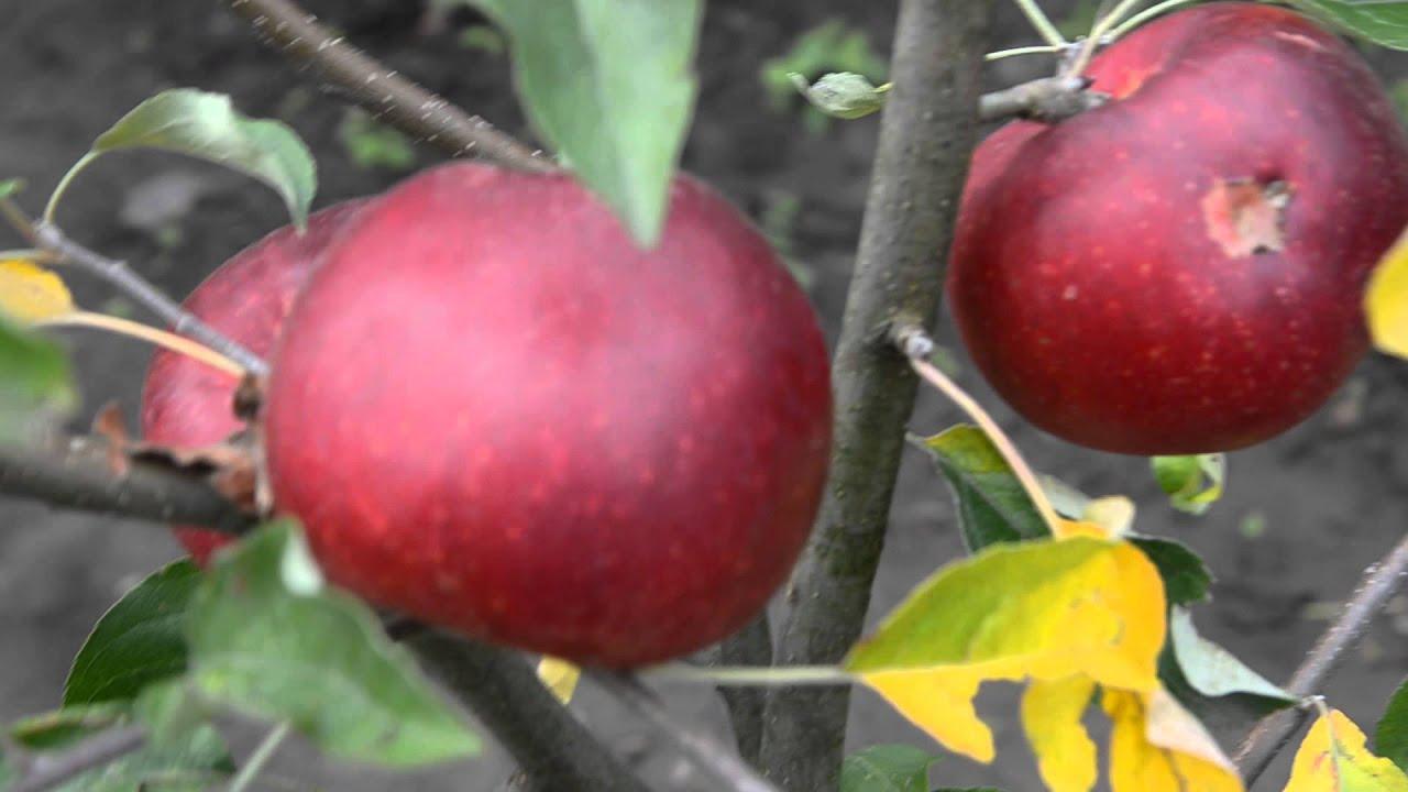 Подарок графскому яблоня отзывы