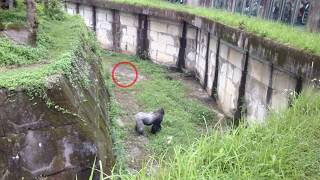 Gorilla attacks Tourists with a Brick Caught on Film