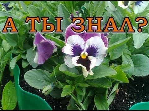 Виола цветы выращивание из семян осенний посев 89