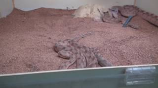 Funny Sawscale Viper