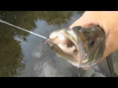 Fly Fishing Snook and Ladyfish!