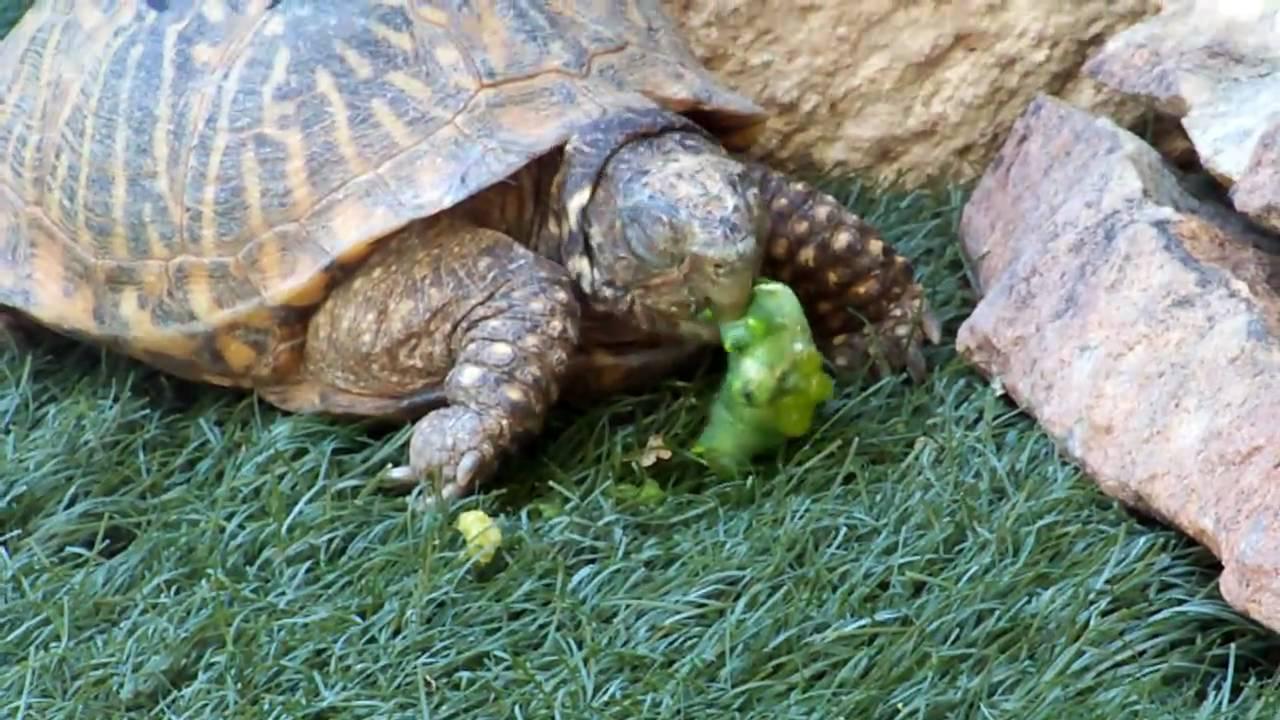 turtle eats a tomato worm   youtube