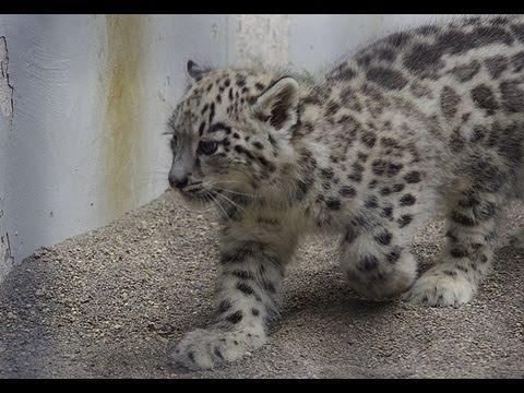 ユキヒョウの赤ちゃん 屋外放飼場デビューと鳴き声~Snow Leopard Baby's cry
