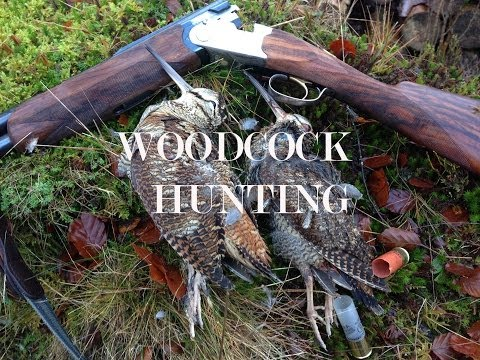 Woodcock Shooting in Scotland over English Setters.