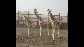 Oliver Meets Tajiri - Giraffe Reunion