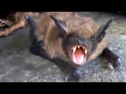 Летучая мышь! Шерсть, зубы, уши как у собаки! Кот поймал летучую мышь. bat