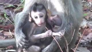 All three monkeys are beautiful,They exchanged each other when breastfeeding