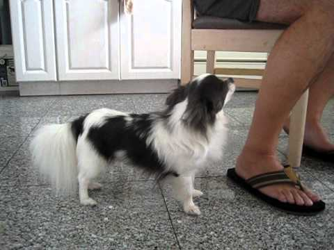 blue and white long haired chihuahua longhaired youtube