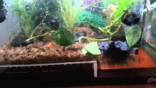 Red Eye Tree Frog Rain Tank