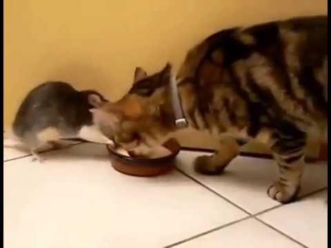 видео кошка ловит крысу