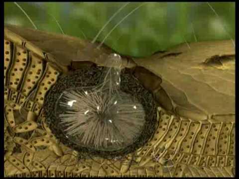 Septoria Leaf Blotch of Wheat